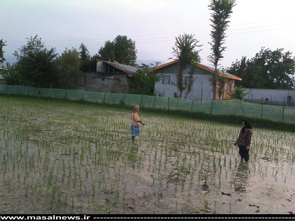 ماسال نیوز وجین نشا در روستای دوله ملال ماسال